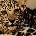 Birth of Rare Arabian Leopard Cub Marks Significant Milestone in Saving a Critically Endangered Species