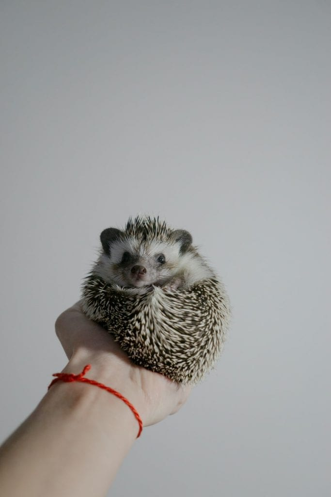 white and black hedgehog on persons hand